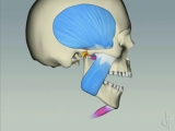 jaw muscle function